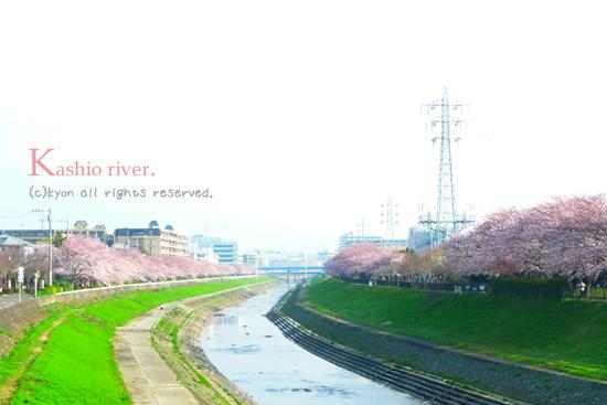 柏尾川桜並木★2009